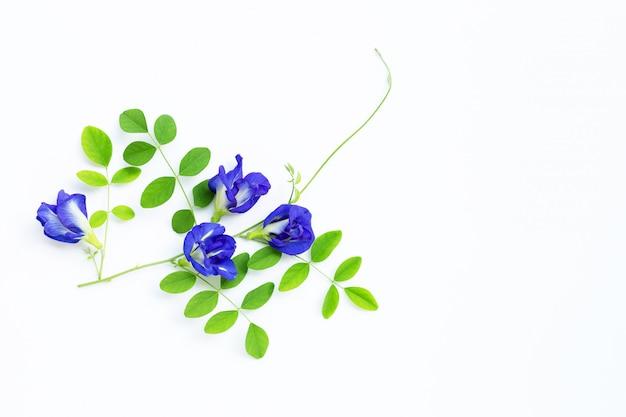 白の葉と蝶エンドウ豆の花。