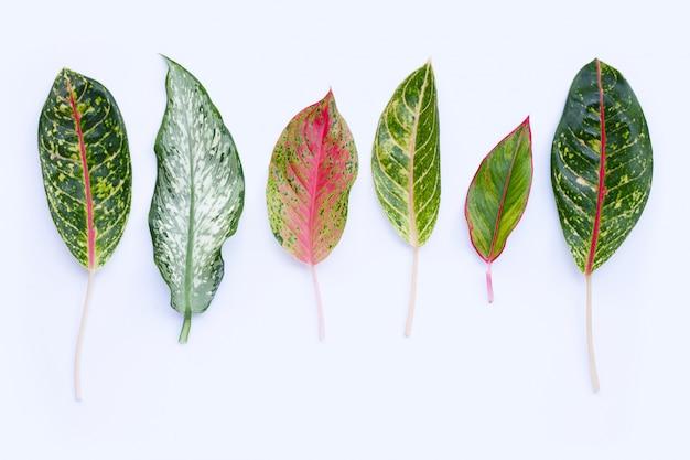 白で隔離されるアグラオネマの葉