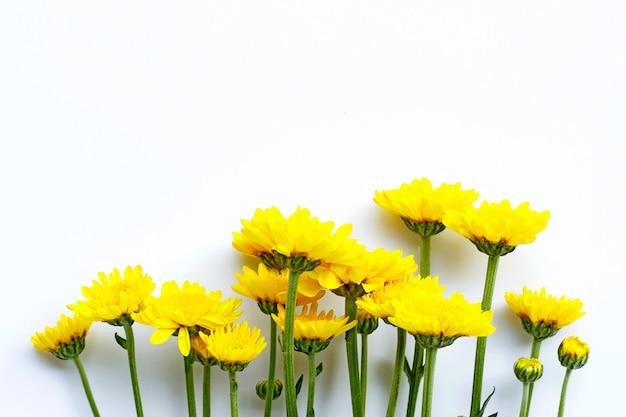 白い背景の上の菊の花。