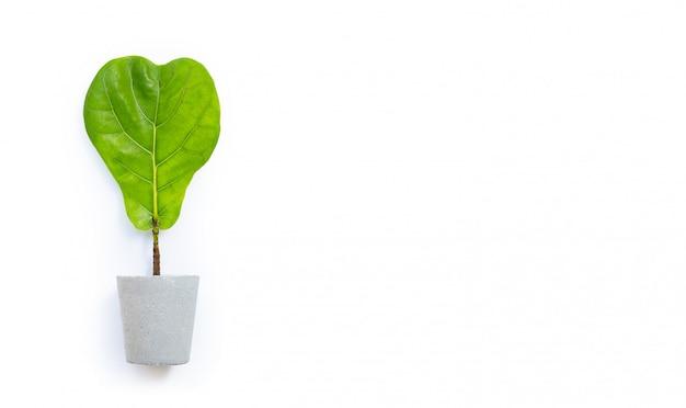 Дерево лирата фикуса в цементном горшке на белой предпосылке. лист формы сердца.