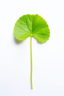 Лист готу колы на белом, травы и лекарственное растение.
