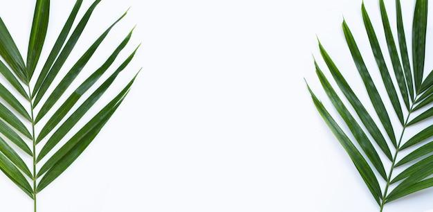 白い背景の上の熱帯のヤシを葉します。コピースペース