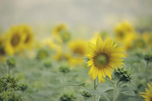 Подсолнечник натуральный цветущий. крупный план
