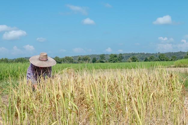 Крестьяне собирают урожай на рисовых полях. день яркого неба