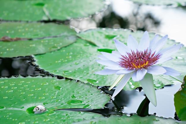 庭の水に紫の花粉と白い水蓮