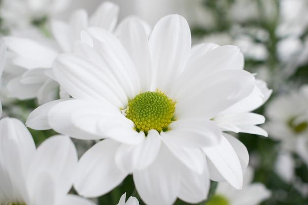 Цветы хризантемы.