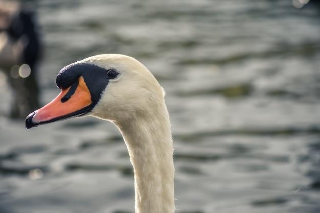 Белый лебедь смотрит на камеру