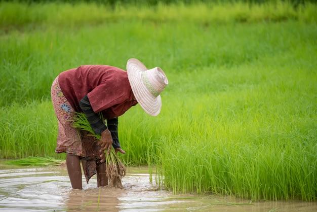 農家はタイの田んぼで田植えをしています