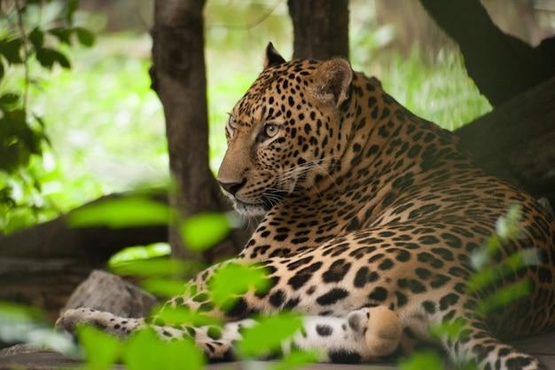 Леопард в зоопарке