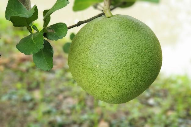 木の上の緑のグレープフルーツ