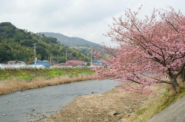 Розовый вишневый цвет, кавазу вишневое дерево в сидзуока японии