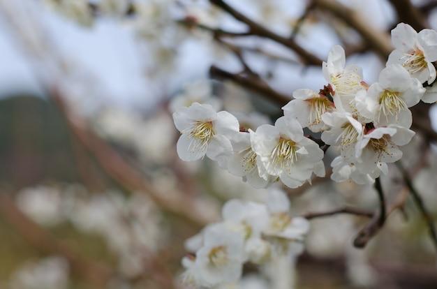 Белый вишневый цвет, кавазу вишневое дерево в сидзуока японии