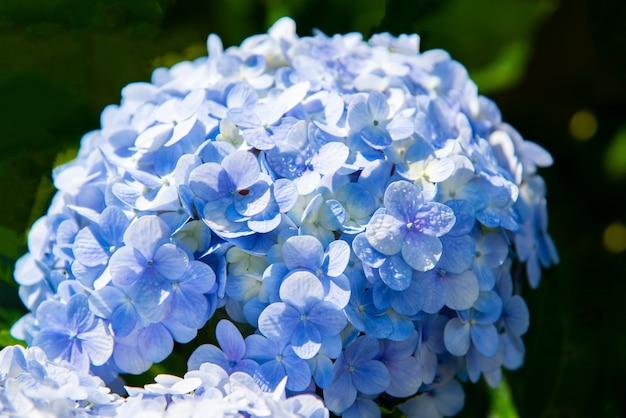 青いアジサイアジサイアジサイまたはオルテンシア花の庭