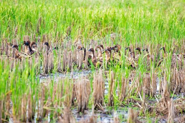 アジアタイの田んぼで茶色のアヒルの束