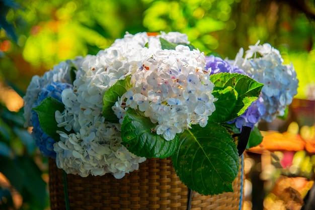 わずかな色の変化で露を帯びた青いアジサイ(アジサイ)