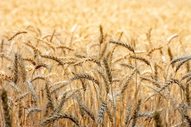 タイ北部の圃場転換試験における大麦、米の黄金色、チェンマイタイの大麦。