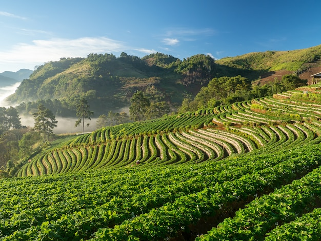 ドイアンチャン、チェンマイ、タイでの日の出とイチゴ園のドイアンチャン風景