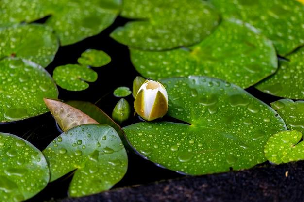 池の白いスイレンの芽