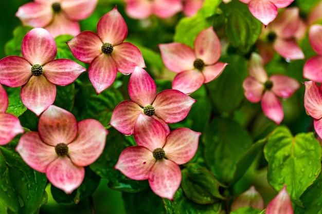 ハナミズキの木の花