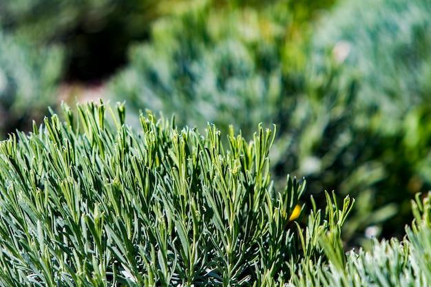 Лавандовые поля весной