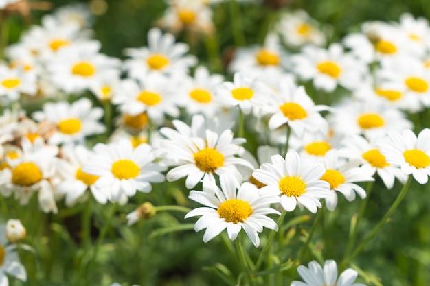 白いデイジーの花。