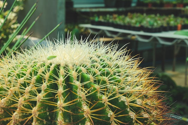 Сочное растение с шипами в вазоне