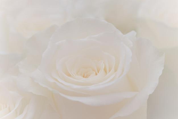 Закройте вверх красивой белой розы.