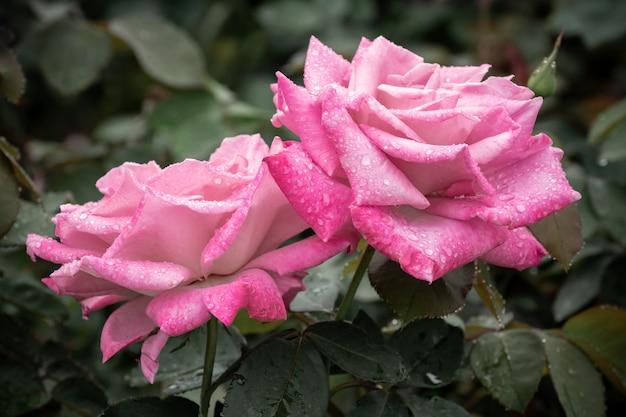 ピンクのバラの雨ドロップ