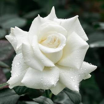 大きな白いバラがきれい