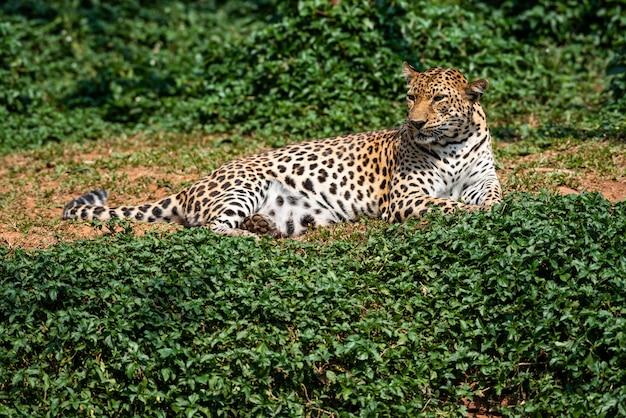 Красивый портрет леопарда
