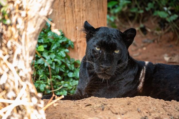 黒豹の目を見てください