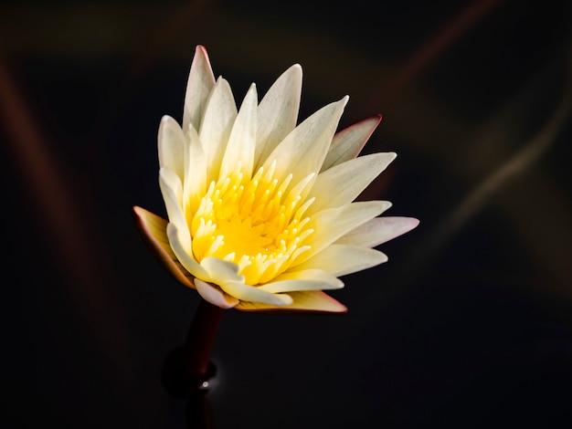美しい白い蓮