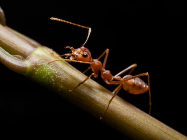 野生動物の赤アリ