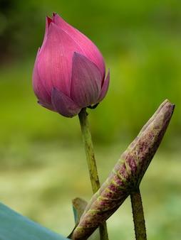 朝の美しい蓮の花