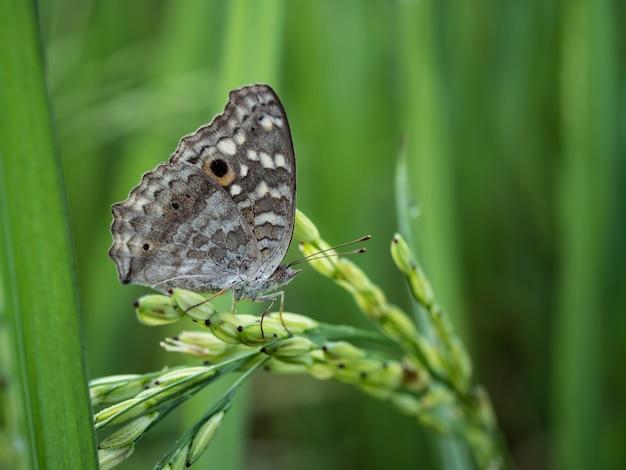 田んぼに茶色の蝶