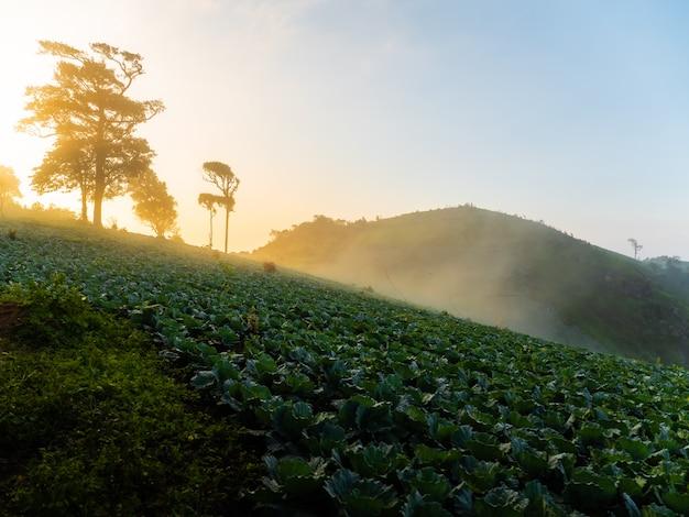 キャベツは丘のふもとに植えられています