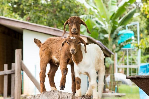 タイの農場でのヤギ