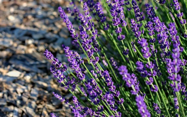晴れた日に紫、香り、咲き誇るラベンダーの花の芽。