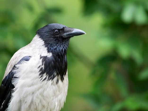 Ворона портрет