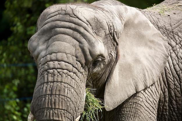 Слон портрет
