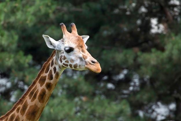 Жираф портрет