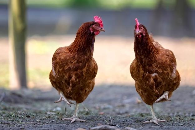 牧草地の鶏