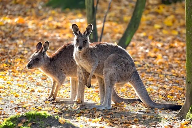 Восточный серый кенгуру на поляне