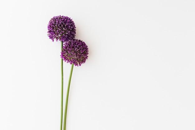 紫色のアリウムは、白い背景に