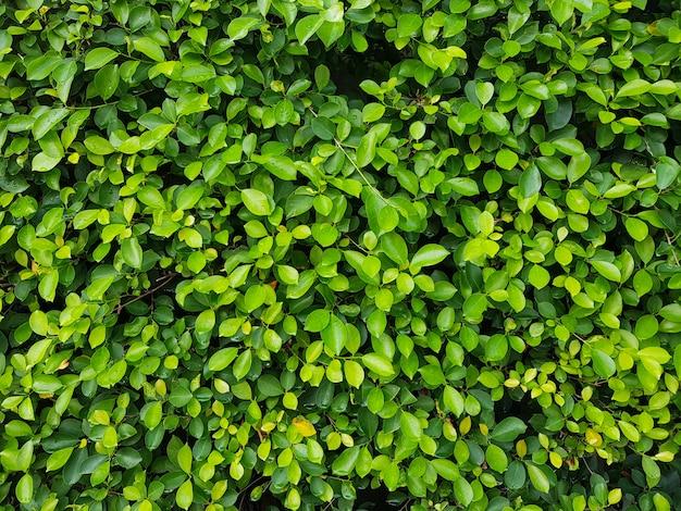 自然の緑の葉の壁。自然の緑の葉の抽象的な背景。
