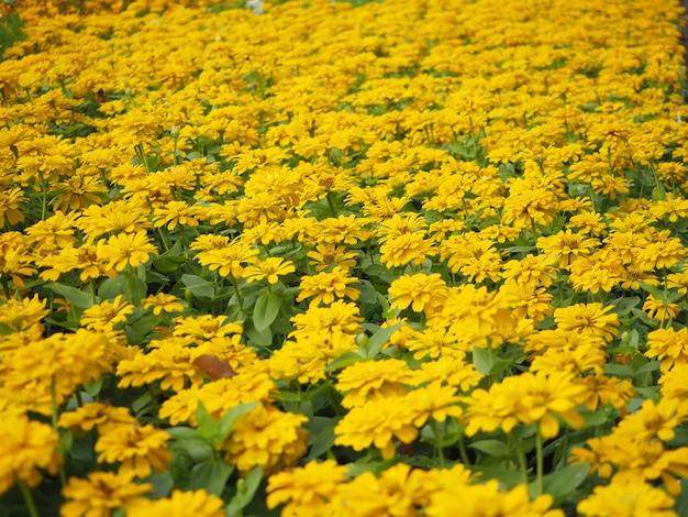 美しい黄色の百日草