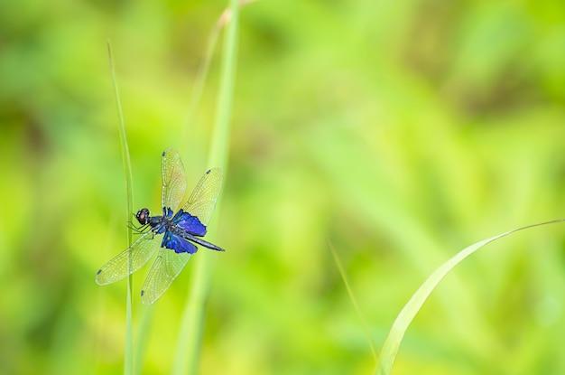 Голубая стрекоза с прозрачными крыльями на листьях травы фон размыто зеленое дерево.