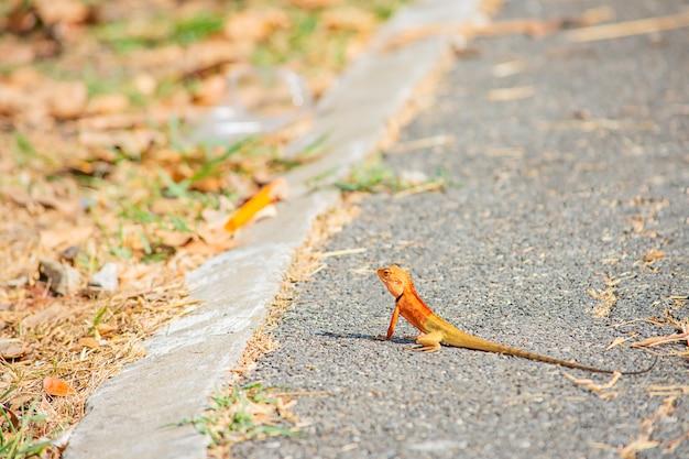 地面のアスファルトの背景にオレンジ色のカメレオンは、草をぼやけています。