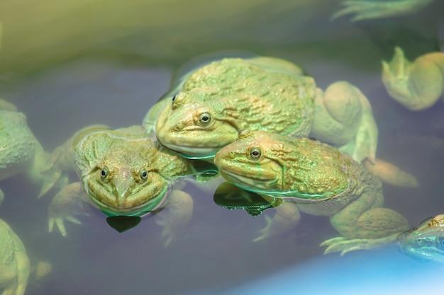 農場で水に大きなカエル。