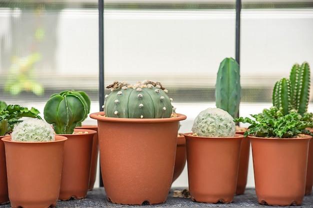 テーブルの上の装飾的な植物のための多くの小さなサボテン。